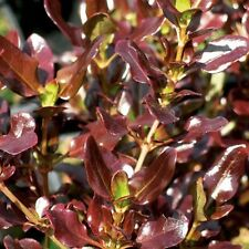 3 X  COPROSMA REPENS *  PACIFIC NIGHT  *  9CM POT  * LOOKING GLASS PLANT *