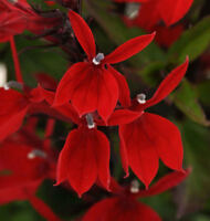 50PCs Red Lobelia Starship Scarlet Seeds Rare Flower Flower Potted Home Garden