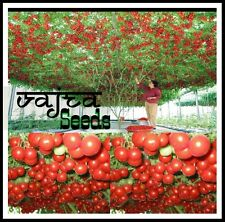 "Italian Tomato tree "" Trip L Crop ""  Vegetable 100 Seeds Packet"