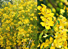 GOLDEN SHOWER TREE Cassia Bicapsularis Yellow Flower Orchid like Shape 100 seeds
