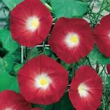 Scarlet O' Hara Morning Glory 25+ Seeds Organic, Beautiful Season Long Blooms.