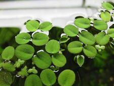 Salvinia natans - Aquarium or Pond Floating Plant - Generous Portion