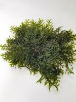 5inx5in Moss for aquarium live plant  Christmas moss 5IN×5IN PIECES BUY3GET1FREE