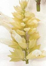 Salvia Splendens Sizzler White Seed