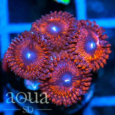 New listing Asd - 098 Meat Cleaver Zoanthids - Wysiwyg - Aqua Sd Live Coral Frag