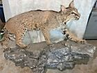 "TAXIDERMY BOB CAT Virginia Heavy Rock Climb Lifelike Bobcat 2ft Tall 41"" W COOL"