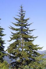 "Douglas Fir Tree Pseudotsuga Healthy Established Roots 2.5"" Potted 3 Plants"