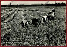 MONDINE 342 MONDARISO RISO RISAIA LAVORI AGRICOLI Cartolina REAL PHOTO