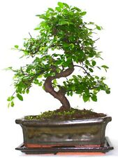 More details for chinese elm bonsai tree - choose your size and options