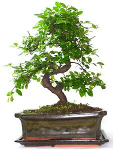 Chinese Elm Bonsai Tree - Choose your size and options