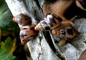 #5 Land Snail Limicolaria flammea Benin Dark Striped 2cm