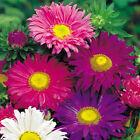 China Aster Samen bunte Mischung Blumensamen
