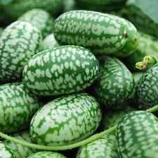 0.1g (approx. 30) cucamelon seeds MELOTHRIA SCABRA Mexican sour gherkin