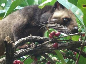 100% Authentic KOPI LUWAK Coffee 1/2 POUND (226 grams)