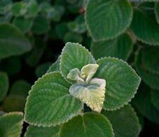 10 Seed Plectranthus Medical Herbs Edible Bonsai Plants Potted Home Decor Garden