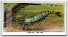 Common Sand Bay Shrimp Crevette Seafood Marine Ocean c80 Y/O Ad Trade Card