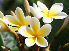 Two Plumeria Cuttings, white with yellow star. 8 to 10 inches