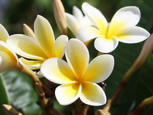 "Rare Plumeria, white with yellow star. 8-12"" cutting"