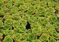 Succulent Aeonium Lily Pad 3 healthy fresh cuttings