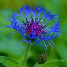 bee balm, spotted, 100 seeds, RARE PERENNIAL! blue flower.