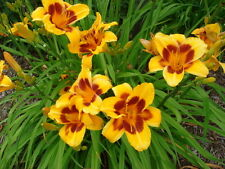 """Black Eyed Susan"" Yellow with Red Eyezone 26"" Daylily Clump - 3-5 fans"