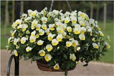 Trailing Pansy Seeds Freefall Cream 25 Pansy Seeds Hanging Basket Pansy