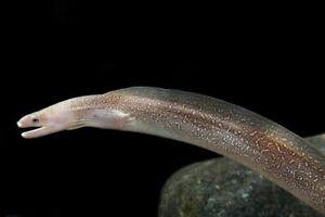 Snowflake Freshwater Moray Eeel - 5inches live freshwater aquarium fish