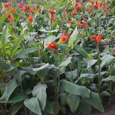 Canna Indica - 10 / 50 Seeds -  'Red'  Flowered Banana  Foliage