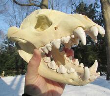 Brown hyena skull taxidermy replica cast