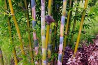 Bambusa Oldhamii Giant Timber Bamboo-LARGE 1 GALLON! - Non-Invasive Clumping g