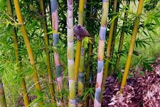 Bambusa Oldhamii Giant Timber Bamboo - LARGE 1 GALLON SIZE  Clumping b
