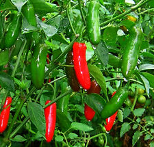 Quality Vegetable Seeds - Chili Pepper Chili  Jalapeno Chili Finest 15 Seeds.