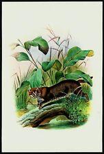 ASIAN GOLDEN CAT, Monograph of the Felidae, by Daniel Giraud Elliot
