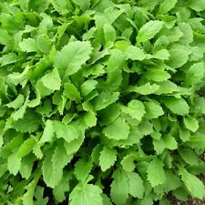 Vegetable - Baby Leaf - Rocket Wasabi - 2500 Seeds