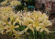 3 WHITE Spider Lily Bulbs Lycoris Albiflora from Japan