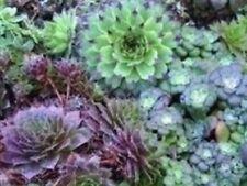 Sempervivum - Species Mixed - 250 Seeds