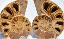 2761 Pair Ammonite Pyslloceras V-Shaped Nautiliod 110myo Fossil Large 106mm 4.2""