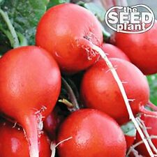 Cherry Belle Radish Seeds - 200 SEEDS-SAME DAY SHIPPING