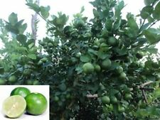 Green Lime 5 fresh Seeds