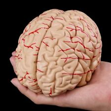 Human Brain Model Anatomical Anatomy Medical Teaching Education Study Science