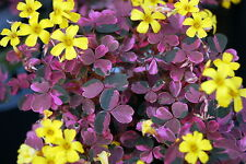 "Plum Crazy Shamrock - Oxalis - 2.5"" Pot - Fairy Garden Plant or House Plant"