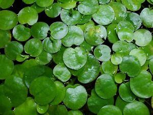 Amazon Frogbit Live Amazon Aquarium Plants Aquatic Floating 10 Plants