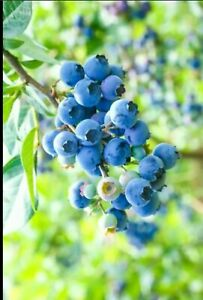 20+BLUEBERRY Anti-Oxidation Dry Seeds, Home Fruit vine, Superfood, Healthy