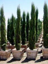 Beautiful Italian Cypress - Fresh Seeds - Ideal Bonsai