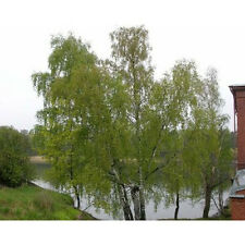 5 Silver Birch Tree Seeds - Betula Pendula, Alba