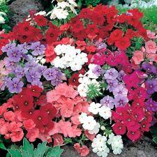 Linanthus grandiflorus 200pcs Phlox Couleurs Mélangées Graines de fleurs