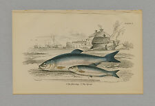 Herring & Spratt Hand-Colored Print Jardine Naturalists Library 1875