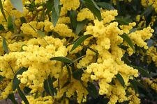 Golden Wattle (Acacia pycnantha) - 30 Seeds