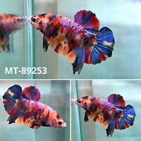 (MT-89253) Rainbow Candy Nemo Koi Galaxy Live Male Plakat HM Betta Fish Grade A+