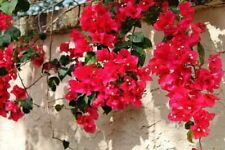 Bougainvillea - 'San Diego Red' - Live Plant